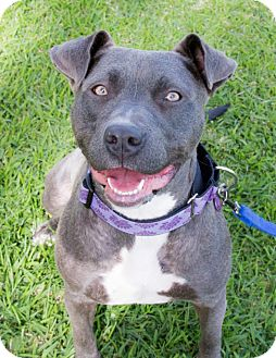 Pit Bull Terrier Mix Dog for adoption in La Habra, California - Hartley