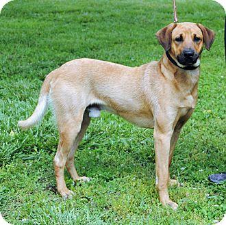 Anatolian Shepherd/Vizsla Mix Dog for adoption in Parsons, Kansas - Bowser
