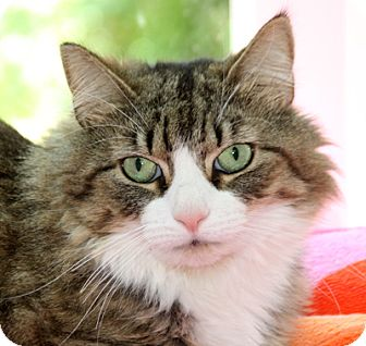 Maine Coon Cat for adoption in Harrison, New York - Krissy