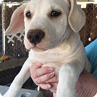 Adopt A Pet :: Dolly - Rancho Cucamonga, CA
