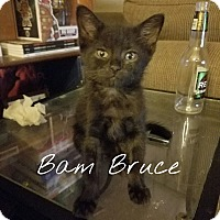 Adopt A Pet :: Bam Bruce - Chicago, IL