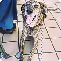 Adopt A Pet :: Chummy - Los Angeles, CA