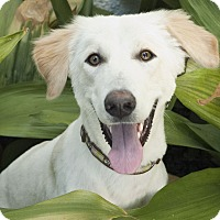 Adopt A Pet :: Honey - Iran dog - Encino, CA