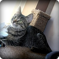 Adopt A Pet :: Lynx - O Fallon, IL
