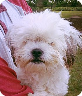 Lhasa Apso Mix Puppy for adoption in Thousand Oaks, California - Buddie