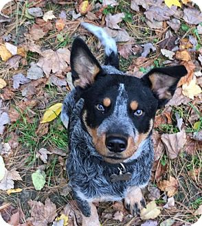 Australian Cattle Dog Puppy for adoption in Remus, Michigan - Kalvin is Adopted!