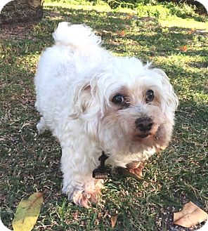 Maltese Mix Dog for adoption in Boca Raton, Florida - Lucky