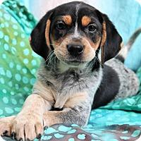 Beagle Mix Puppy for adoption in Staunton, Virginia - Tennsley