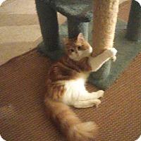 Maine Coon Cat for adoption in Whitestone, New York - Tank