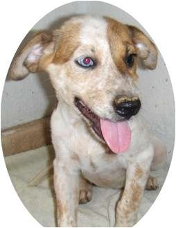 Australian Cattle Dog/Australian Shepherd Mix Puppy for adoption in Glendale, Arizona - Kianna