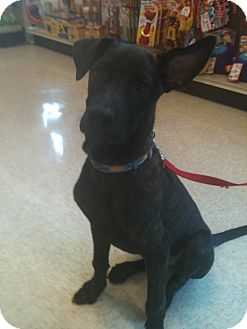 Labrador Retriever/Great Dane Mix Dog for adoption in Phoenix, Arizona - Jax