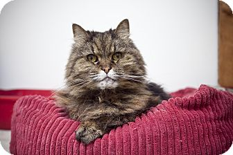 Persian Cat for adoption in Chesapeake, Virginia - Venus