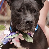 Adopt A Pet :: BETSY - Media, PA
