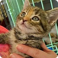 Adopt A Pet :: Cherokee - Island Park, NY