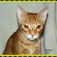 Domestic Shorthair Kitten for adoption in Plain City, Ohio - Monkey