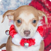 Adopt A Pet :: New Years Puppies - San Marcos, CA