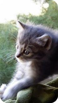 Domestic Mediumhair Kitten for adoption in Louisville, Kentucky - Monkey
