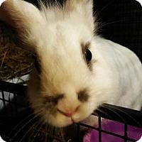 Lionhead Mix for adoption in Conshohocken, Pennsylvania - Gidget