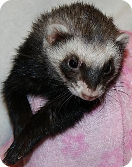 Ferret for adoption in Indianapolis, Indiana - Peepers