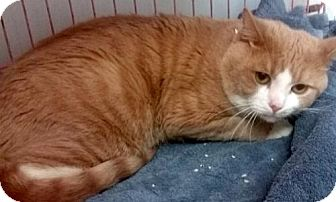 Domestic Shorthair Cat for adoption in Hudson, New York - Rusty