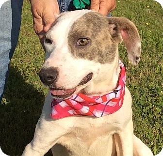 Mountain Cur Mix Dog for adoption in Burlington, Vermont - Cleo