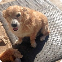 Terrier (Unknown Type, Medium)/Chihuahua Mix Dog for adoption in Maricopa, Arizona - Alf