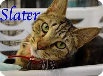 Domestic Shorthair Cat for adoption in Bradenton, Florida - Slater