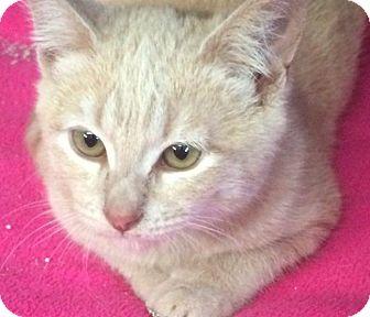 Domestic Shorthair Kitten for adoption in Eureka, California - Chowder