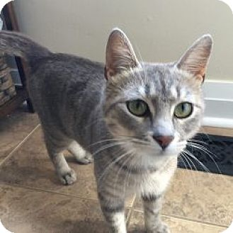 Domestic Shorthair Cat for adoption in London, Ontario - Lillian