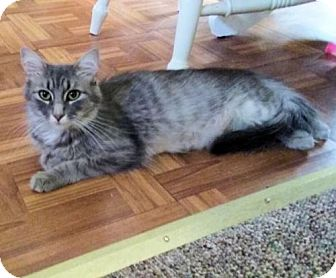 Domestic Longhair Cat for adoption in Rutherfordton, North Carolina - Echo