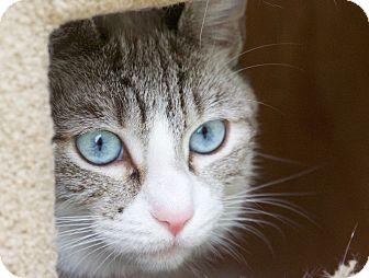 Siamese Cat for adoption in Chula Vista, California - Lucy
