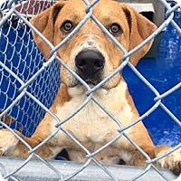 Hound (Unknown Type)/Terrier (Unknown Type, Medium) Mix Dog for adoption in New Kent, Virginia - Ryker