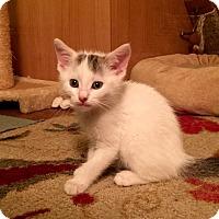 Adopt A Pet :: Gandolf the Great - Southington, CT
