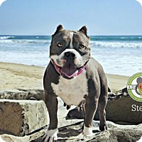 American Staffordshire Terrier Dog for adoption in Oceanside, California - Stella