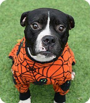 Boxer/Bulldog Mix Dog for adoption in Kittery, Maine - Benton