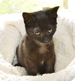 Domestic Mediumhair Kitten for adoption in Davis, California - Buttercup