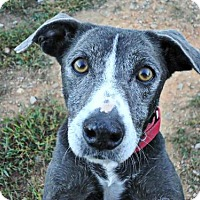Adopt A Pet :: Caroline - Spartanburg, SC