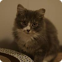 Adopt A Pet :: Nikolai - Stafford, VA