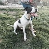 American Bulldog Mix Dog for adoption in Richfield, Wisconsin - Solo