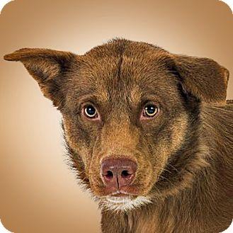 Shepherd (Unknown Type) Mix Dog for adoption in Prescott, Arizona - Izzy