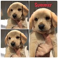 Adopt A Pet :: Summer - Folsom, LA