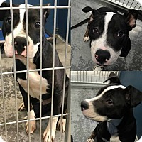 Adopt A Pet :: Ori - south plainfield, NJ