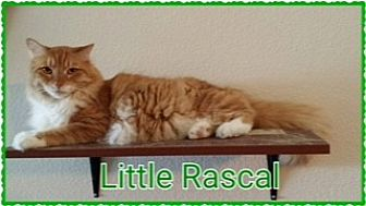 Domestic Longhair Cat for adoption in Kennedale, Texas - Little Rascal