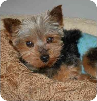 yorkie for adoption in nc max adopted dog charlotte nc yorkie yorkshire terrier 9552