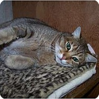 Abyssinian Cat for adoption in Quilcene, Washington - Cougar