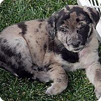Adopt A Pet :: Frank - Broomfield, CO