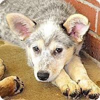 Adopt A Pet :: *Cassie - PENDING - Westport, CT