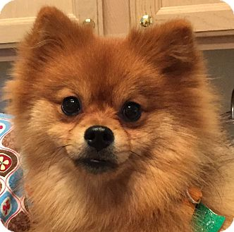 pomeranian rescue in florida star adopted puppy star orlando fl pomeranian mix 5726