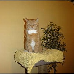 Photo 2 - Domestic Shorthair Cat for adoption in Barnegat, New Jersey - Big Red