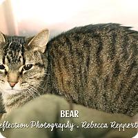 Adopt A Pet :: Bear *Petco* - Appleton, WI
